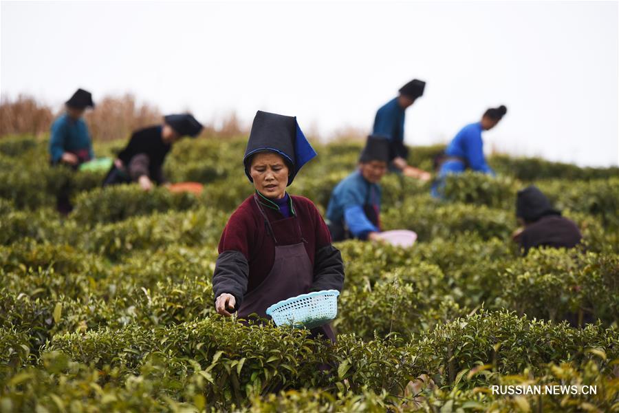 """Сбор весеннего урожая на """"чайных плантациях помощи бедным"""" в уезде Даньчжай"""