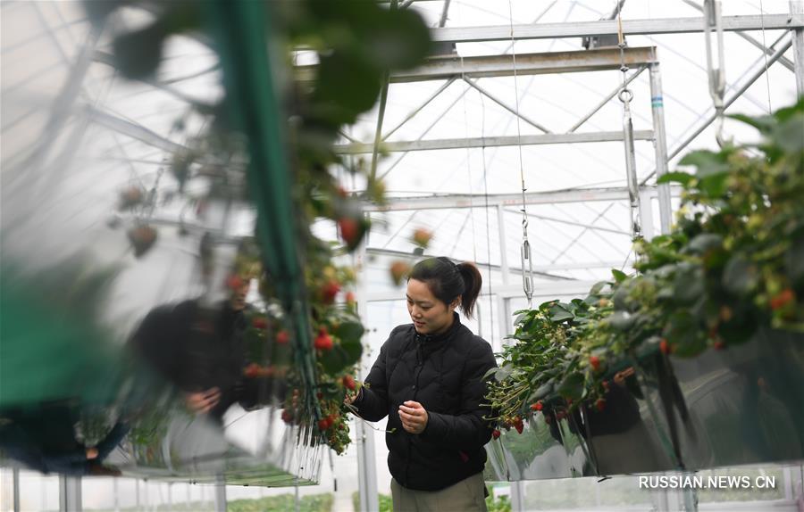 """""""Золотая ягода"""" -- Выращивание клубники приносит дополнительный доход фермерам из города Цзюйжун"""