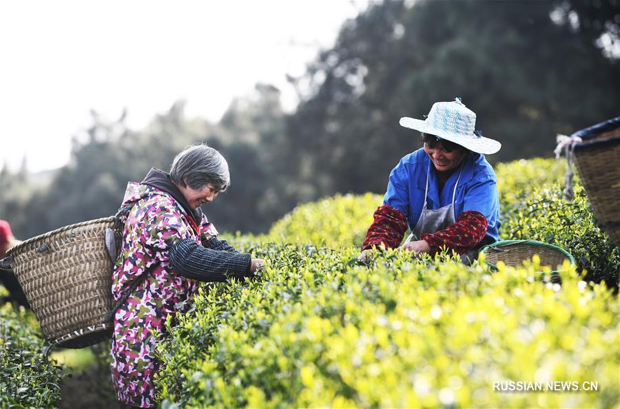 Весна -- время сбора урожая лучшего чая