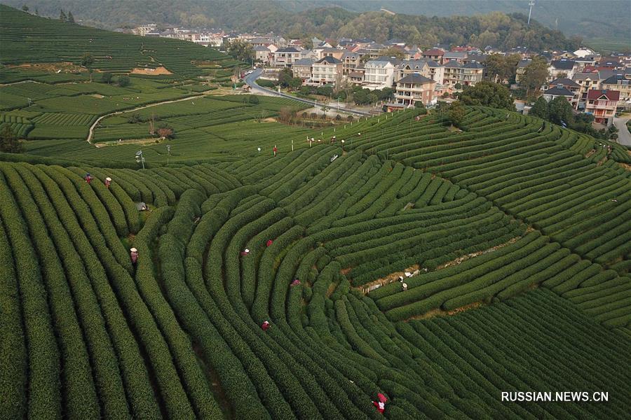 """В Ханчжоу собирают первый урожай чая """"Сиху Лунцзин"""""""