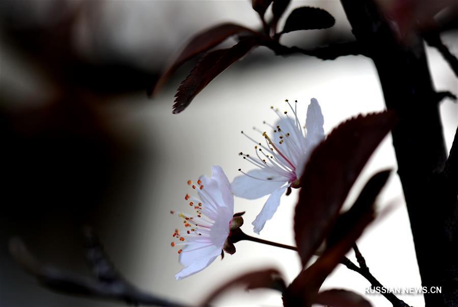 Весенние цветы в Шанхае