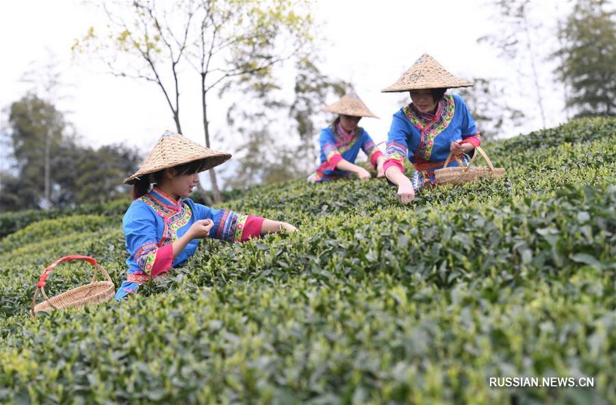 Сбор белого чая в Фудине