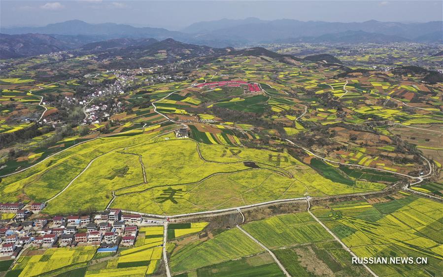 Цветущие поля рапса в парке Луншань