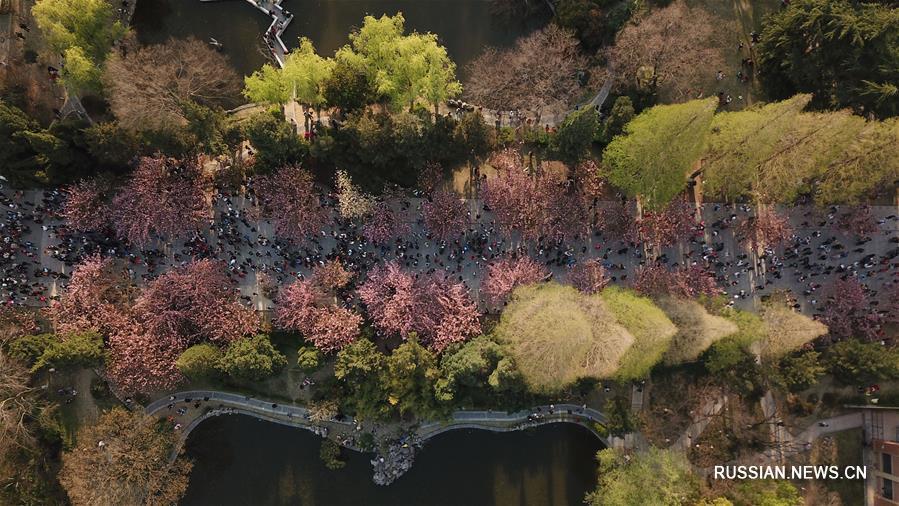 Цветущие вишни в кампусе Китайского научно-технического университета