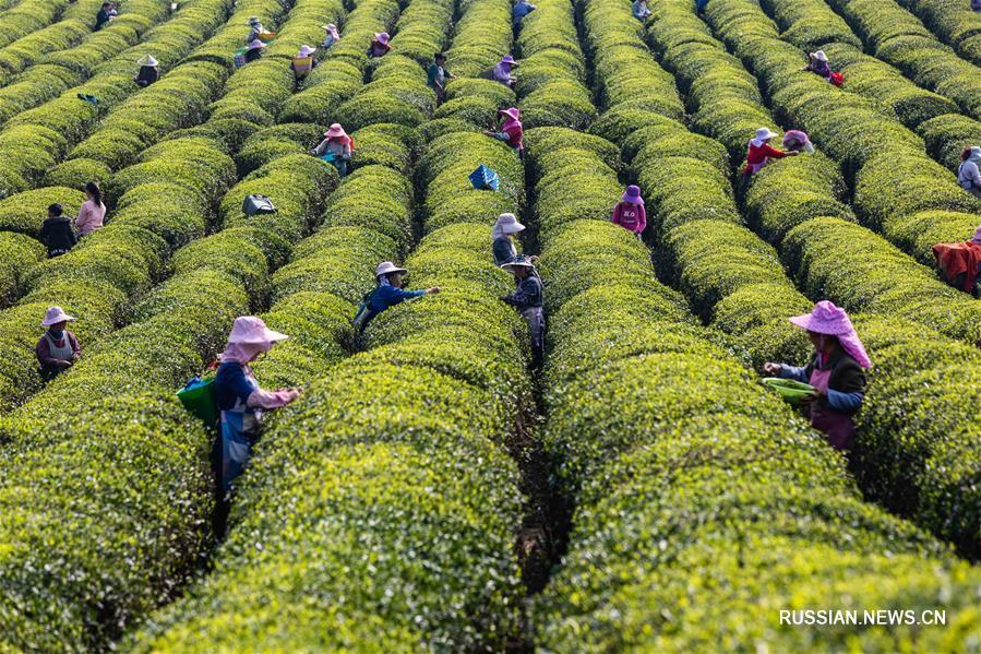 """В Китае собирают """"доцинминские"""" чаи"""