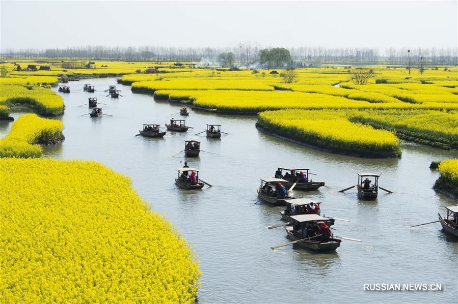 Золотые острова цветущего рапса в ландшафтном парке Цяньдо