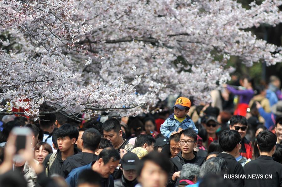 В городе Циндао распустились цветы сакуры