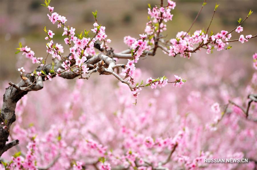 Персиковые сады в полном цвету в провинции Шаньдун