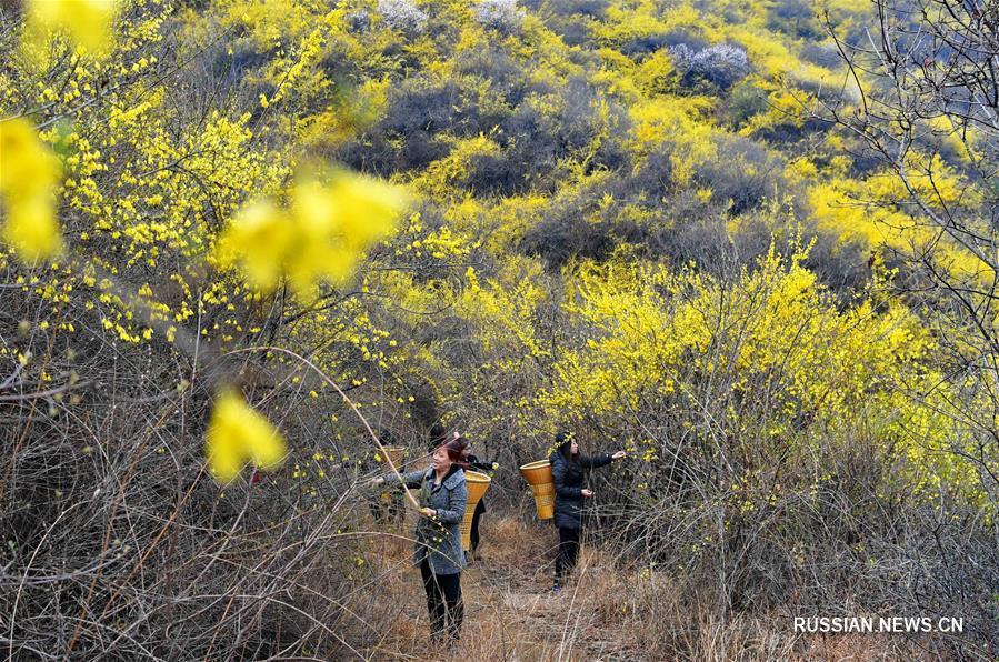 Сельскохозяйственное выращивание форзиции в горах Тайханшань