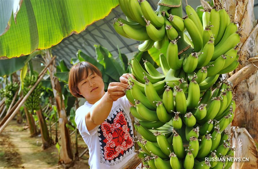Развитие тепличного сельского хозяйства с местной спецификой в уезде Сунин