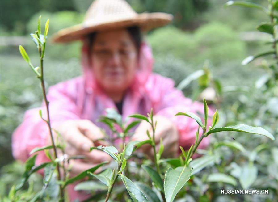 """В горах Уишань начался сезон сбора и производства чая """"Цзиньцзюньмэй"""""""