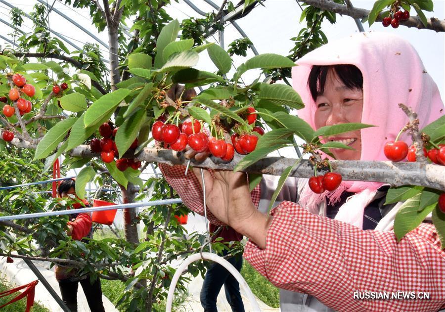Сбор тепличной вишни в провинции Шаньдун