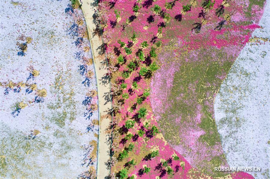 Вишневые сады в провинции Шаньдун