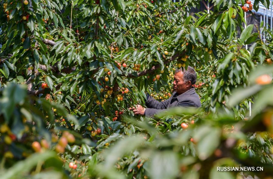 Производство тепличной вишни в уезде Цзицзэ