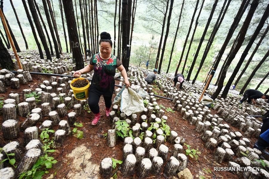 Выращивание грибов на пустующей земельной площади в лесах уезда Цзяньхэ