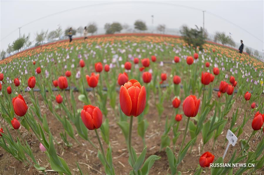 Любование тюльпанами на экоферме в Шахэ