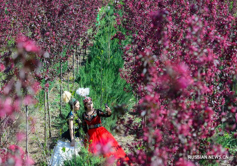 Фестиваль цветения яблони замечательной в Синьцзяне