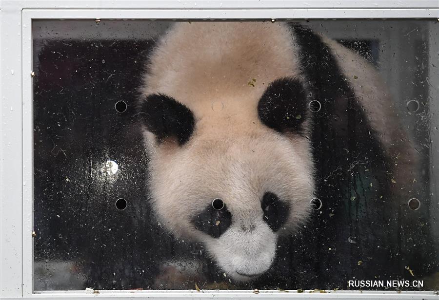 """(社会)(1)大熊猫""""如意""""""""丁丁""""启程前往俄罗斯"""