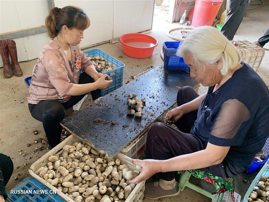 Уезд Шэньсянь -- крупная грибоводная база на востоке Китая