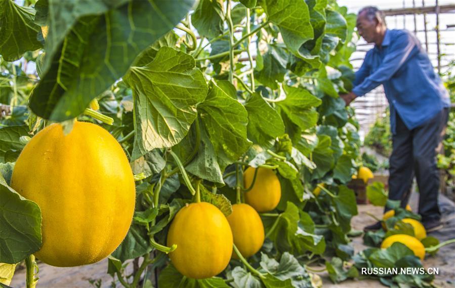 Выращивание дынь -- путь к достатку для крестьян уезде Цзаоцян