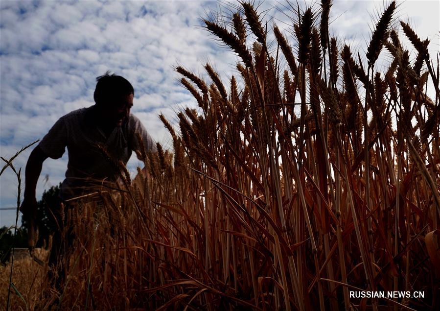 Сезон урожая в Центральном Китае