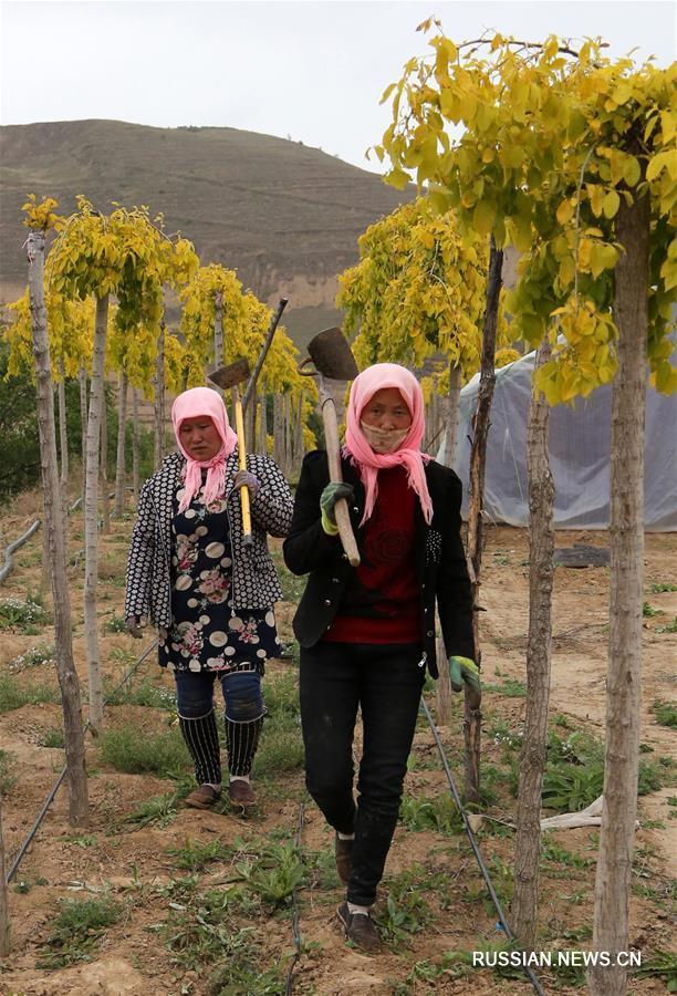 Выращивание саженцев помогло справиться с бедностью жителям уезда Сицзи на северо-западе Китая
