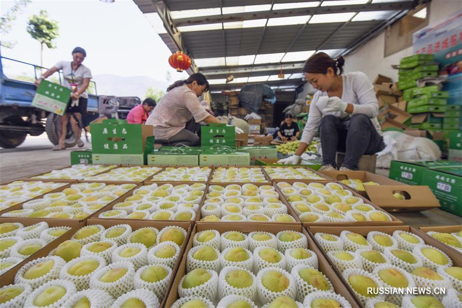 Ароматные белые абрикосы приносят дополнительный доход фермерам в провинции Хэбэй