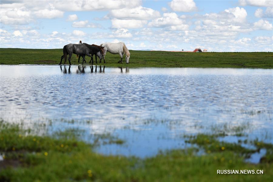 Лошади хэцюйской породы в степях уезда Мацюй