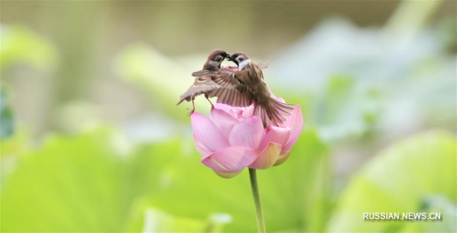 Воробьиные игры на цветке лотоса