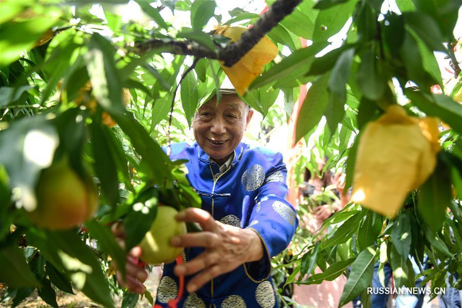 В Нинбо начался сезон сбора медовых персиков
