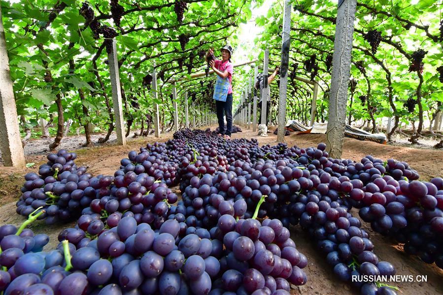 Сбор винограда в теплицах Таншаня