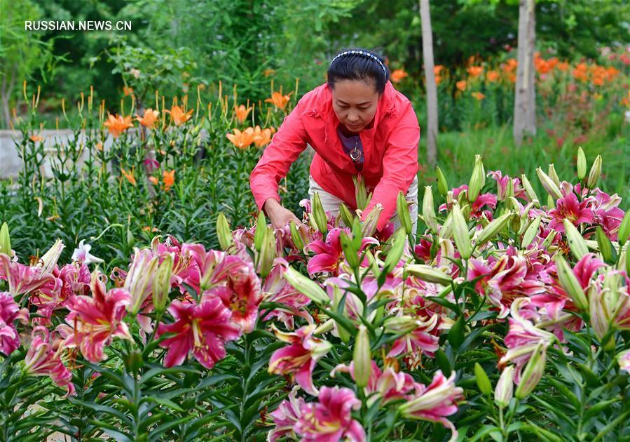 Развитие цветочной экономики на окраине Луаньчжоу