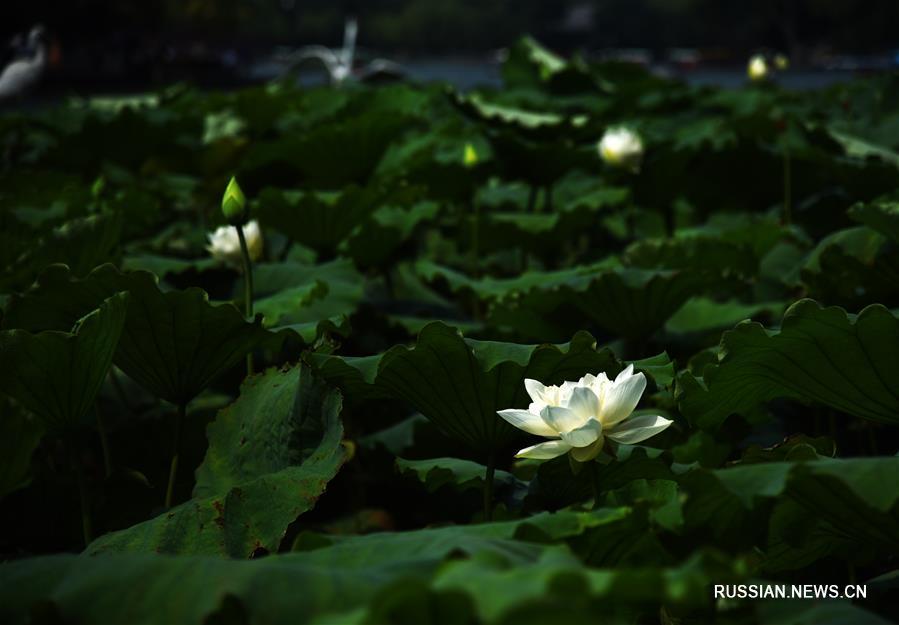 Великолепие цветов лотоса на озере Даминху в провинции Шаньдун