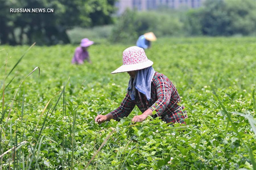 Сбор жасмина в провинции Фуцзянь