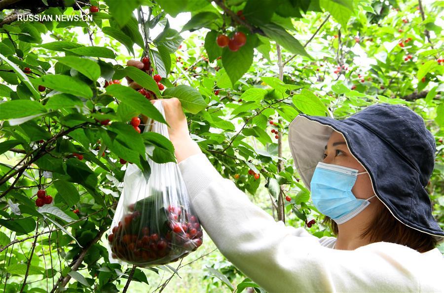 В Чжэнчжоу отметили Фестиваль вишни