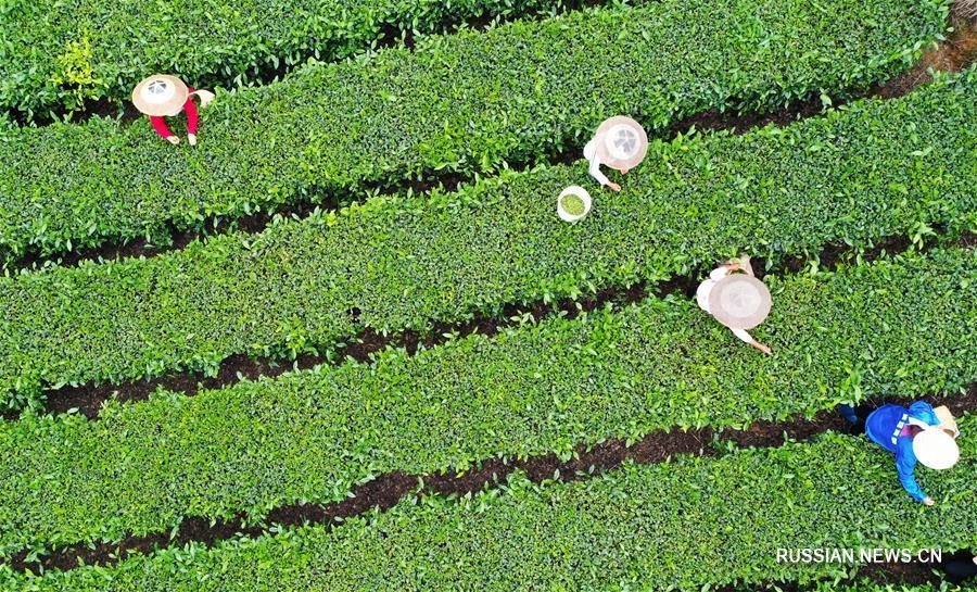 Сбор летнего чая в деревне Синьюань