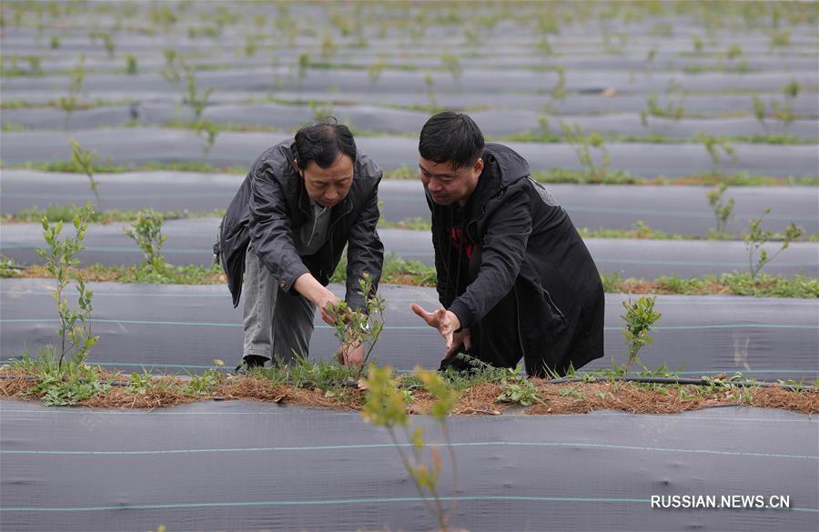 Выращивание голубики в высокогорных районах провинции Сычуань