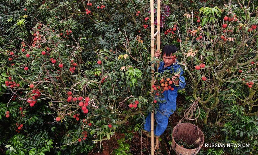 Богатый урожай личжи в провинции Гуандун