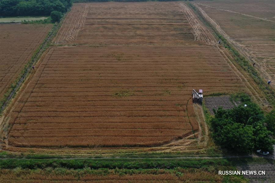 Уборка пшеницы в провинции Чжэцзян