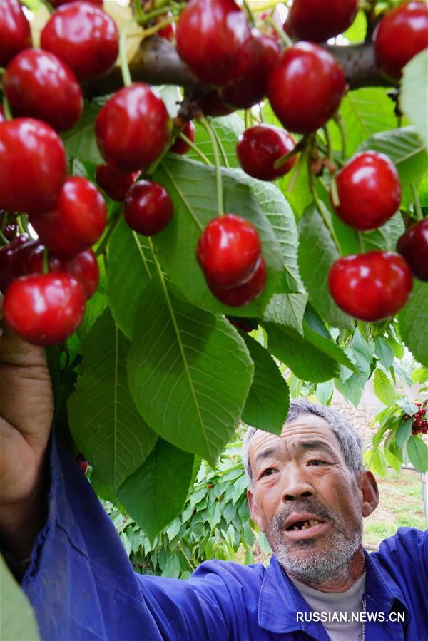 Сбор крупноплодной черешни в поселке Цзюбайху
