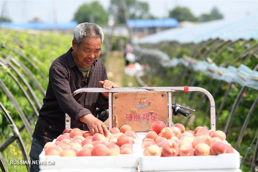 Свежий урожай персиков в теплицах уезда Лаотин