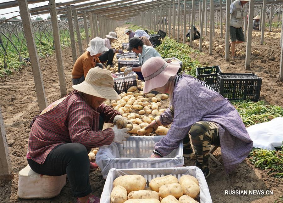 Крестьяне в пров. Хэбэй увеличивают доходы с помощью выращивания картофеля