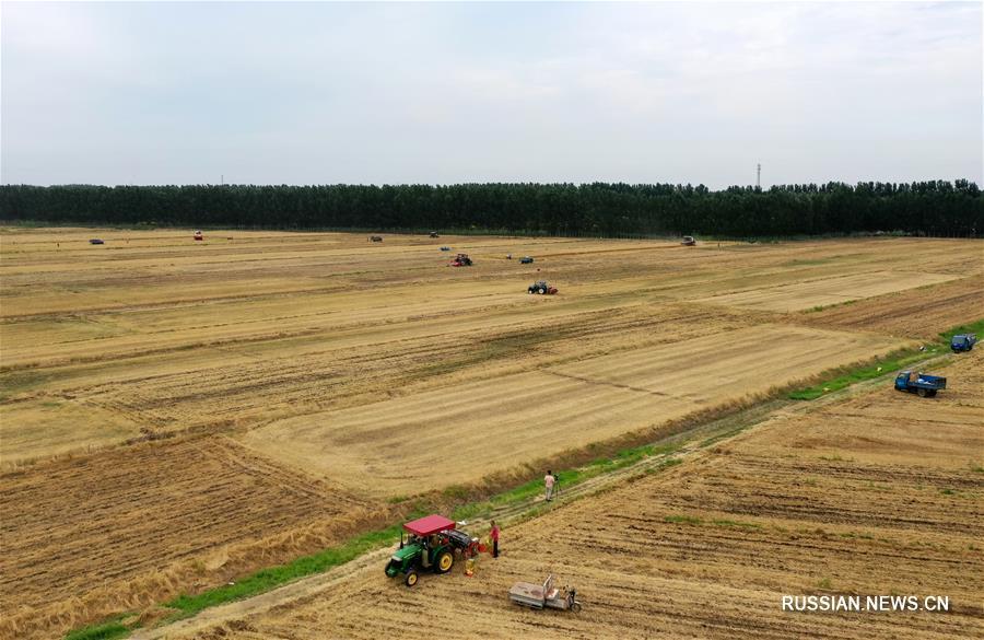 Уборка урожая озимой пшеницы в Северном Китае