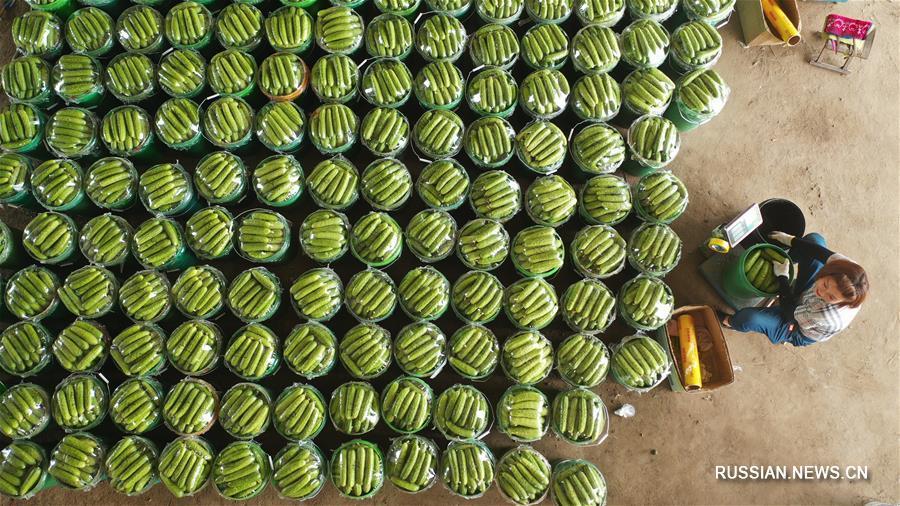 Производство фруктов и овощей -- источник крестьянского достатка в Луаньчжоу