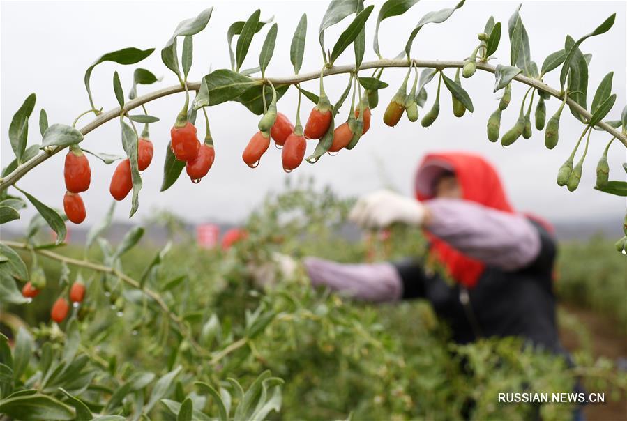 В Нинся-Хуэйском АР сдана в эксплуатацию линия по упаковке свежих ягод годжи