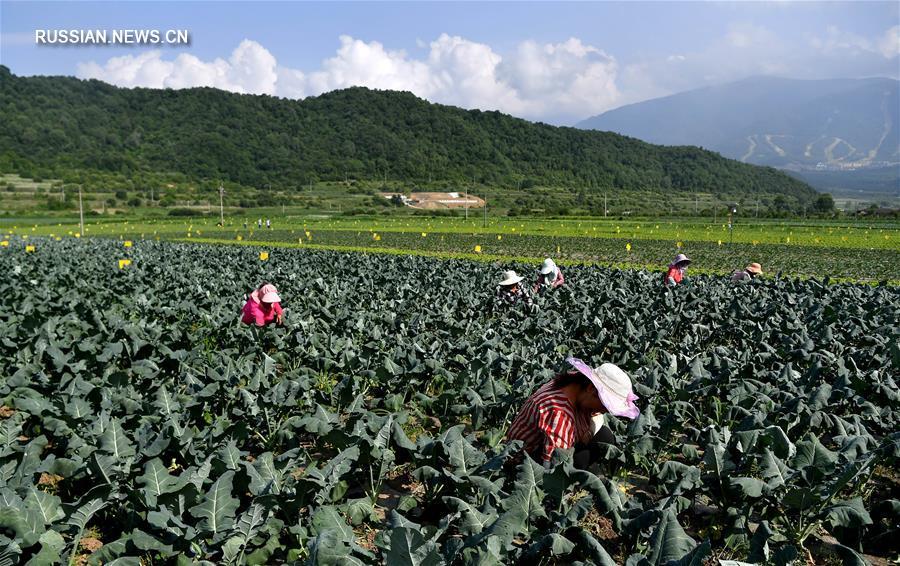 Жители уезда Тайбай на северо-западе Китая избавляются от бедности с помощью выращивания овощей