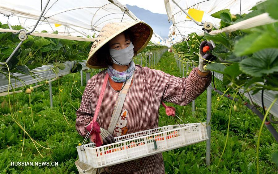 Увеличиваются доходы у крестьян на северо-западе Китая за счет выращивания голубики, клубники и малины