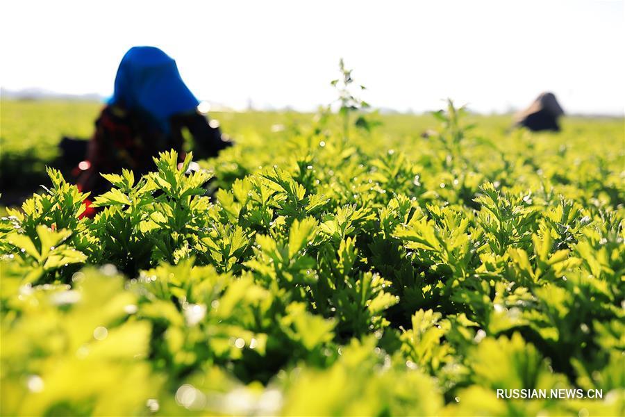 Уборка высокогорных летних овощей в Динси