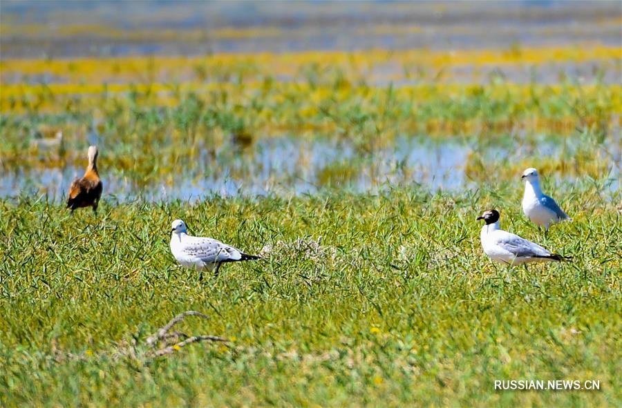 Перелетные птицы на Ордосских водно-болотных угодьях