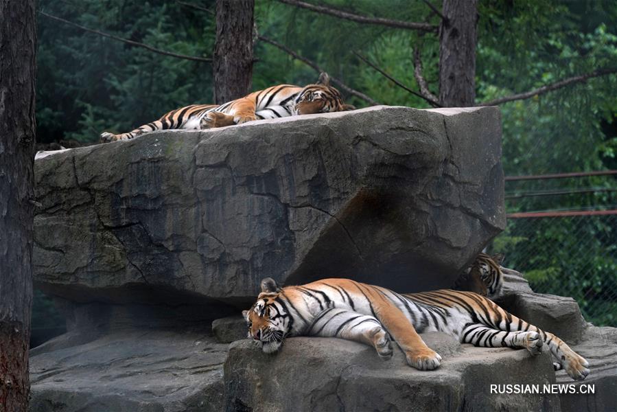 Международный день тигра в питомнике Хэндаохэцзы